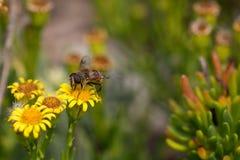 Honey Bee en la flor amarilla, cierre encima de la macro Fotografía de archivo