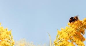 Honey Bee en la flor amarilla en fondo azul E Imagen de archivo libre de regalías
