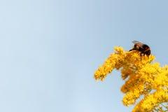 Honey Bee en la flor amarilla en fondo azul E Imágenes de archivo libres de regalías