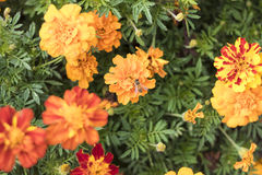 Honey Bee en la flor anaranjada en jardín botánico Fotos de archivo