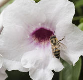 Honey Bee en la flor blanca y rosada Fotografía de archivo libre de regalías