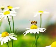 Honey Bee en la flor de la manzanilla Imágenes de archivo libres de regalías