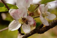 Honey Bee en la flor del melocotón del flor de la primavera Imagen de archivo