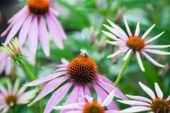 Honey Bee en la flor púrpura del cono Fotos de archivo libres de regalías