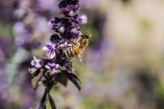 Honey Bee en la planta coloreada lavanda Imagenes de archivo