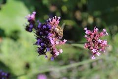 Honey Bee en la verbena Officinalis Imagen de archivo libre de regalías