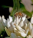 Honey Bee en las flores del café Imágenes de archivo libres de regalías