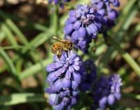Honey Bee en las flores del Muscari Foto de archivo libre de regalías