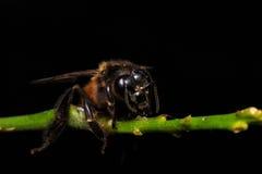 Honey Bee en las flores o la hoja Fotografía de archivo