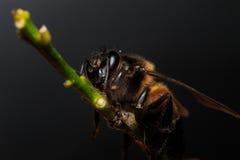 Honey Bee en las flores o la hoja Fotografía de archivo libre de regalías