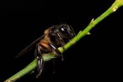 Honey Bee en las flores o la hoja Imagen de archivo