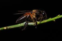 Honey Bee en las flores o la hoja Imágenes de archivo libres de regalías