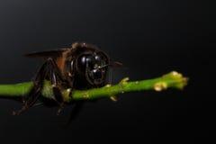 Honey Bee en las flores o la hoja Fotos de archivo libres de regalías