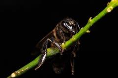 Honey Bee en las flores o la hoja Fotos de archivo