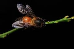 Honey Bee en las flores o la hoja Imagen de archivo libre de regalías