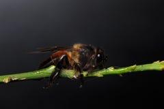 Honey Bee en las flores o la hoja Foto de archivo libre de regalías