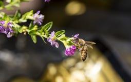 Honey Bee en las flores rosadas Foto de archivo libre de regalías