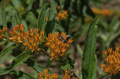 Honey Bee en mala hierba de mariposa Fotografía de archivo