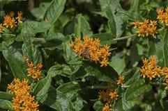 Honey Bee en mala hierba de mariposa Imagen de archivo libre de regalías