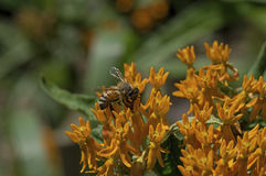 Honey Bee en mala hierba de mariposa Fotos de archivo libres de regalías
