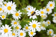 Honey Bee en margarita Imagen de archivo