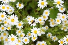 Honey Bee en margarita Fotografía de archivo libre de regalías