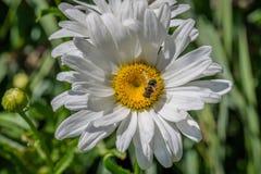 Honey Bee en margarita Imagenes de archivo