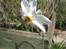 Honey Bee en narciso Foto de archivo libre de regalías