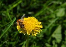 Honey Bee en una flor amarilla del diente de león Imagenes de archivo