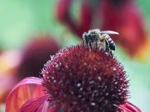 Honey Bee en una flor combinada Imagen de archivo libre de regalías