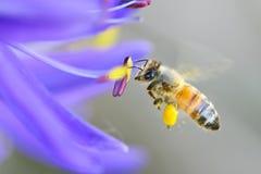 Honey Bee en una flor de Camas Imagenes de archivo