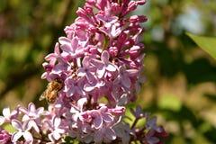 Honey Bee en una flor de la lila Fotos de archivo