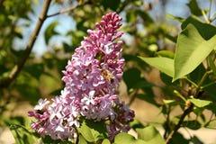 Honey Bee en una flor de la lila Fotos de archivo libres de regalías