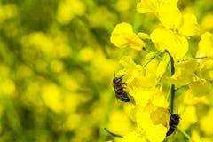 Honey Bee en una flor de la violación en campo de la violación Imagen de archivo