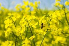 Honey Bee en una flor de la violación en campo de la violación Fotos de archivo libres de regalías