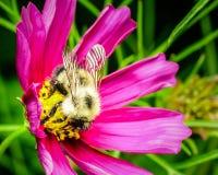 Honey Bee en una flor púrpura floreciente Fotografía de archivo