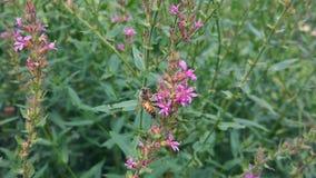 Honey Bee en una flor rosada Foto de archivo libre de regalías