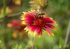 Honey Bee en una floración del Zinnia Fotos de archivo