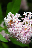 Honey Bee en una lila Imagen de archivo libre de regalías
