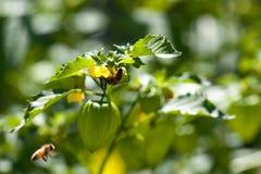Honey Bee en una planta Imágenes de archivo libres de regalías