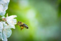Honey Bee en vuelo Imagen de archivo libre de regalías