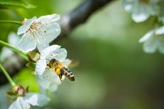 Honey Bee en vuelo Foto de archivo