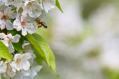 Honey Bee en vuelo Fotos de archivo libres de regalías