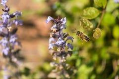 Honey Bee en vuelo Imagenes de archivo