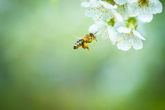 Honey Bee Enjoying Blossoming Cherry Tree Royalty Free Stock Photography