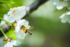 Honey bee enjoying blossoming cherry tree Stock Image