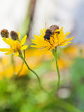 Honey bee feed pollen from yellow flower Stock Photo
