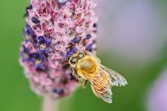 Honey Bee Feeding Foto de archivo libre de regalías