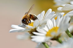 Honey bee feeding on anthemis flower Stock Photo