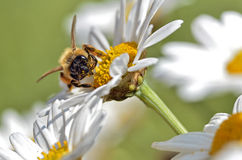 Honey bee feeding on anthemis flower Royalty Free Stock Images